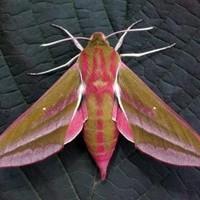 motheaten