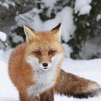 VeganFox