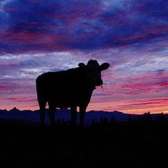 Winter-Cattle