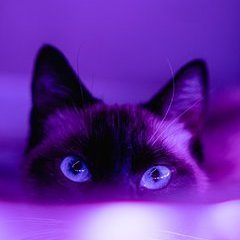 Purrple Cat
